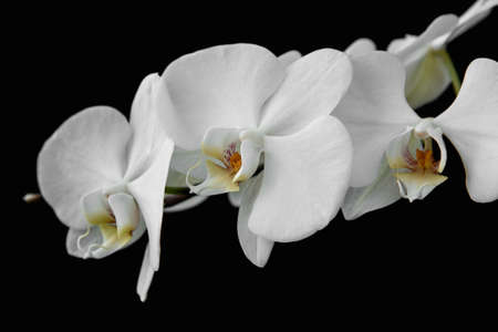 Horizontal shot of the branch of white orchid isolated on black background.