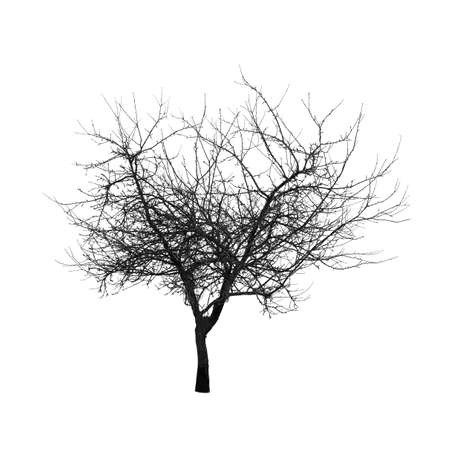 Square shot of tree without leaves isolated on white background.