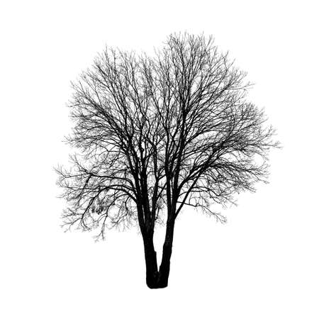 Square shot of tree without leaves isolated on white background. Isolated object.