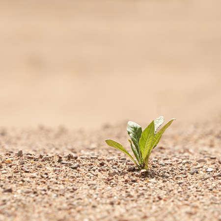 Allein grüne Pflanze auf dem Sand. Das Konzept des Überlebens. Foto mit Kopienraum.