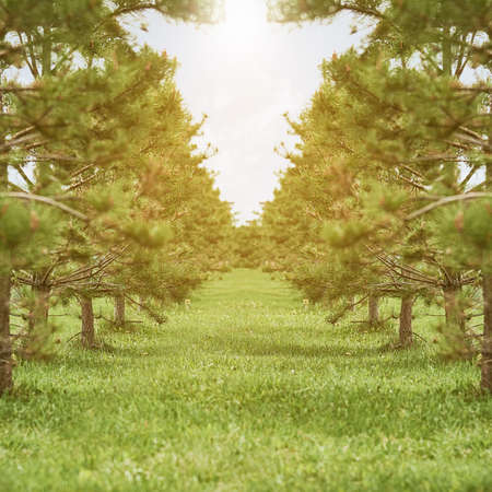Square shot of plantations of coniferous trees lit by bright sunlight . The concept of the struggle for the environment.