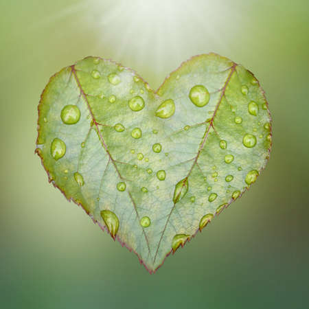 Square shot of heart symbol of green rose leaves lit by bright sunlight isolated on a green background. Stok Fotoğraf