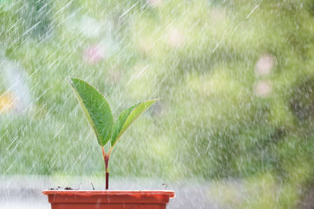 Macro of small sprout with first leaves growing in little flower pot over green background in blur under the rain drops.