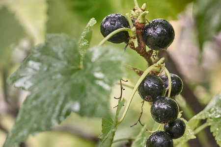 Black currant branch with water drops after rain.