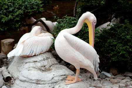 pelikan: Pelican bird at the Dalian Zoo, China