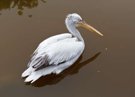 Pelican bird at the Dalian Zoo, China photo