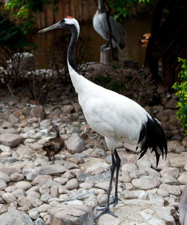 Red-crowned Crane or Japanese Crane  Dalian zoo  China  photo
