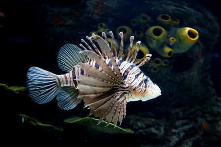 common lionfish: Common Lionfish   Pterois miles   Taken at Shrjah aquarium Stock Photo