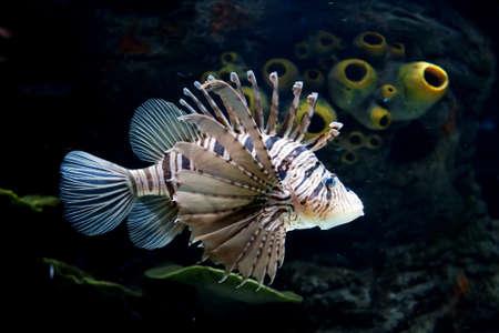 pterois: Common Lionfish   Pterois miles   Taken at Shrjah aquarium Stock Photo