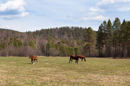Sunny landscape of ural meadow and horses  Russia  photo