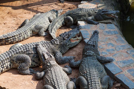 gaping: Crocodiles in the farm. Binh Chau. Vietnam.
