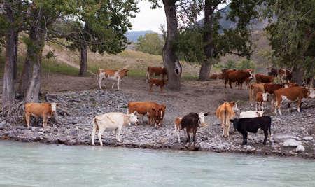 katun: View of Cows near mountain river Katun, Altai, Russia Stock Photo