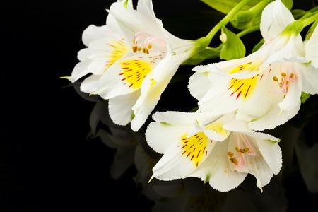 wonderfull: wonderfull lily on black background
