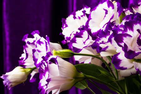 wonderfull: maravilloso lirio blanco y morado sobre fondo oscuro Foto de archivo