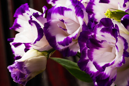 wonderfull: wonderfull white-purple lily on dark background