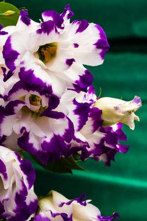 wonderfull: maravilloso lirio blanco y morado sobre fondo verde Foto de archivo