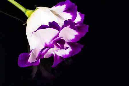 wonderfull: wonderfull white-purple lily on black background Stock Photo