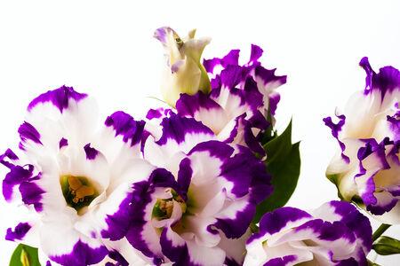 wonderfull: wonderfull white-purple lily on white background Stock Photo