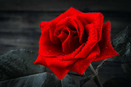 wonderfull: beautiful wild-growing red rose on white background
