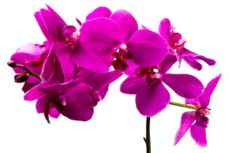 wonderfull: wonderfull red orchid flower on white background
