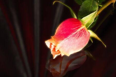 beautiful wild-growing scarlet rose on dark background