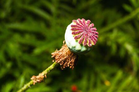 ripen: Ripen wild-growing poppy on green