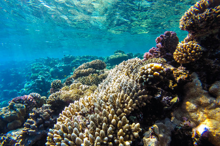 underwater: red sea coral reef with hard corals, fishes and sunny sky shining through clean water - underwater photo