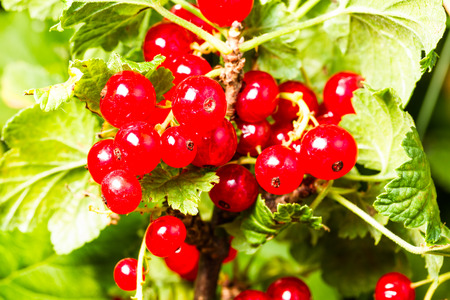 redcurrant: redcurrant on green background