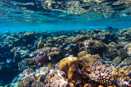 sea: red sea coral reef with hard corals, fishes and sunny sky shining through clean water - underwater photo