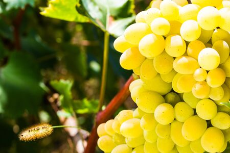 appetizing: ripe juicy appetizing grape on blurred background