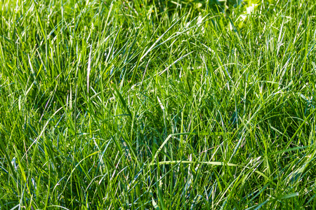 natural background texture from fresh spring green grass