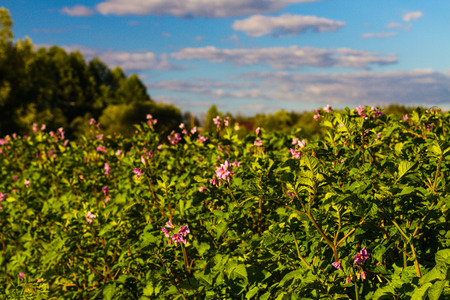 potato field with blooming flowers Stock Photo