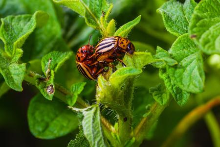 sexual intercourse of the Colorado beetle on the bush of potatoe Stock Photo
