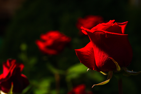 beautiful wild-growing red roses on dark background, lowkey