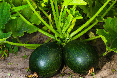 green round vegetable marrow on garden bed
