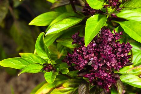 fresh ripe clove basil on garden bed