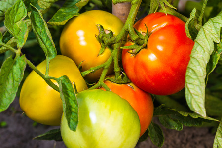 fresh ripe and immature tomatoes on garden bed Stock Photo