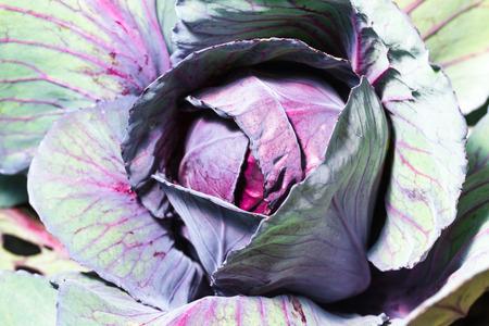 fresh ripe cabbage on garden bed