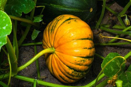 fresh ripe pumpkin on garden bed