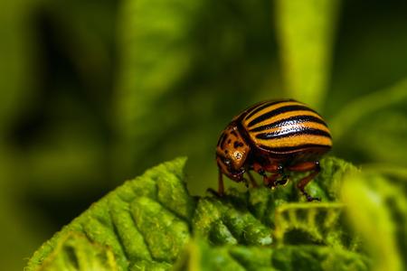 Colorado beetle eats a potato leaves Фото со стока