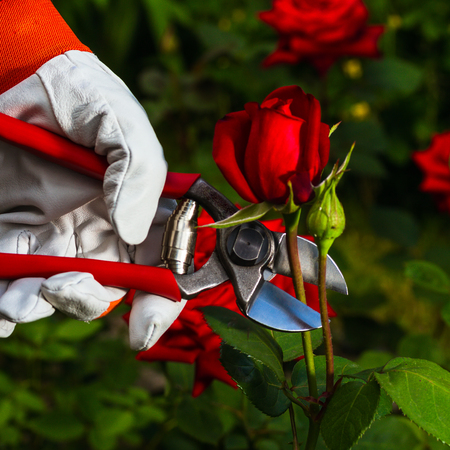 gardeners hand in a leather protective glove which is cutting off a red rose professional garden secateurs.