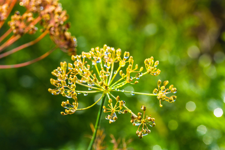 umbrellas of seeds fragrant dill (fennel) with dew drop on garden bed Stock Photo