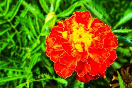 fresh beautiful marigold on green leaves background Stock Photo