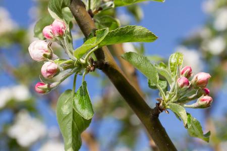 seasonic: bluming apple tree on sky background