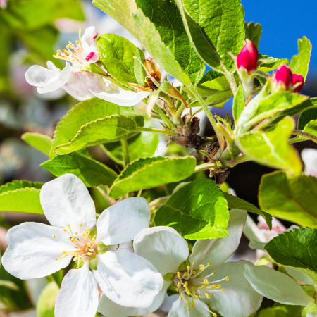 seasonic: bluming apple tree