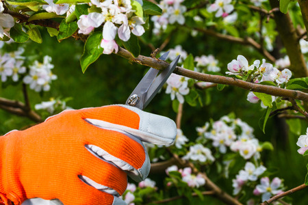 gardeners hand with  pruning scissors