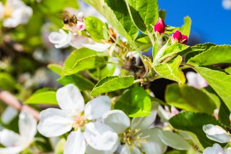 seasonic: Blooming apple tree
