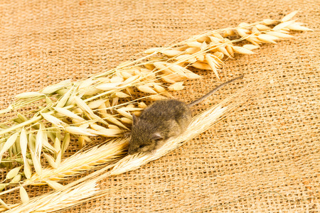 mouse and spikelets of cereals on sackcloth background