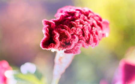 Maroon celosia flower in the morning sun, flower cockscomb