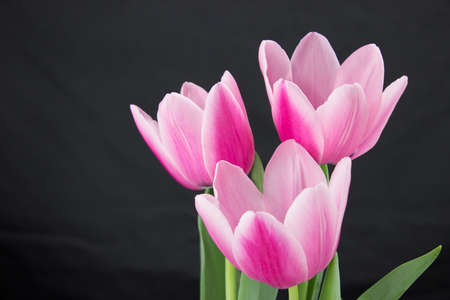 loveliness: Pink tulips blossom on dark background